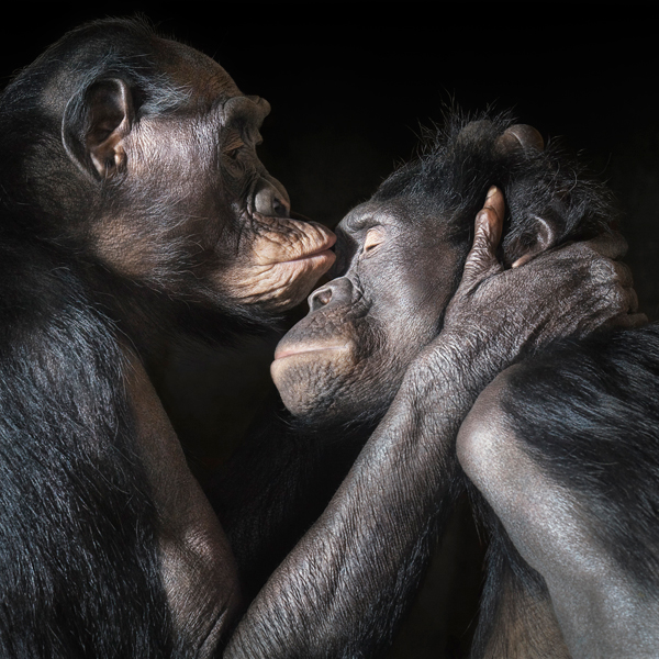 0012 Bonobos kiss copy More Than Human Book and Exhibition by Renowned Photographer Tim Flach