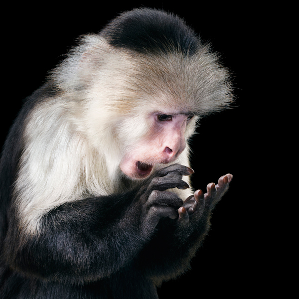 0013 Capuchin copy More Than Human Book and Exhibition by Renowned Photographer Tim Flach