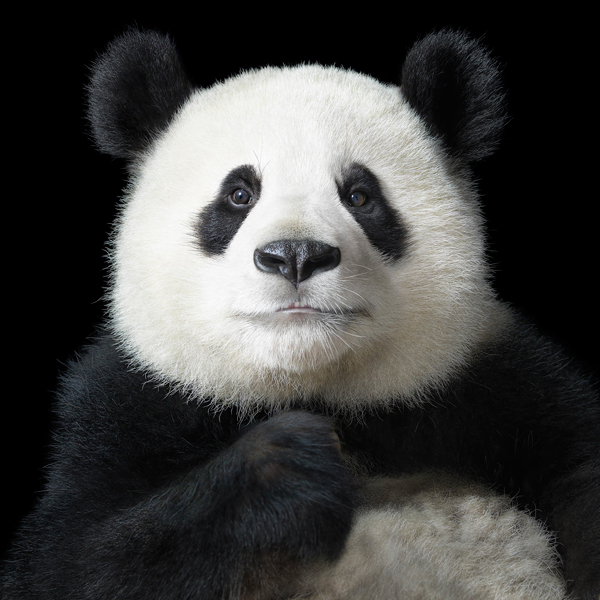 0021 Panda Portrait copy More Than Human Book and Exhibition by Renowned Photographer Tim Flach