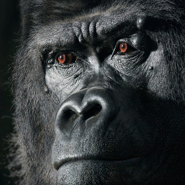 0026 Gorilla Portrait copy More Than Human Book and Exhibition by Renowned Photographer Tim Flach