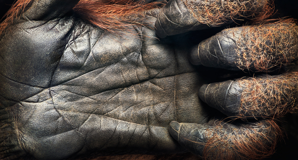 0027 Orangutan Handflatten press crop More Than Human Book and Exhibition by Renowned Photographer Tim Flach