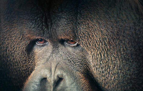 0028 Orangutan Eyes Lookin copy More Than Human Book and Exhibition by Renowned Photographer Tim Flach