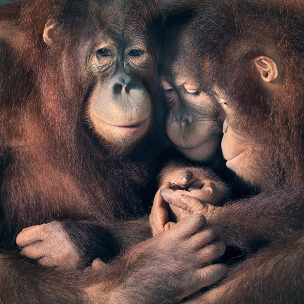 0029 Orangutan group copy More Than Human Book and Exhibition by Renowned Photographer Tim Flach