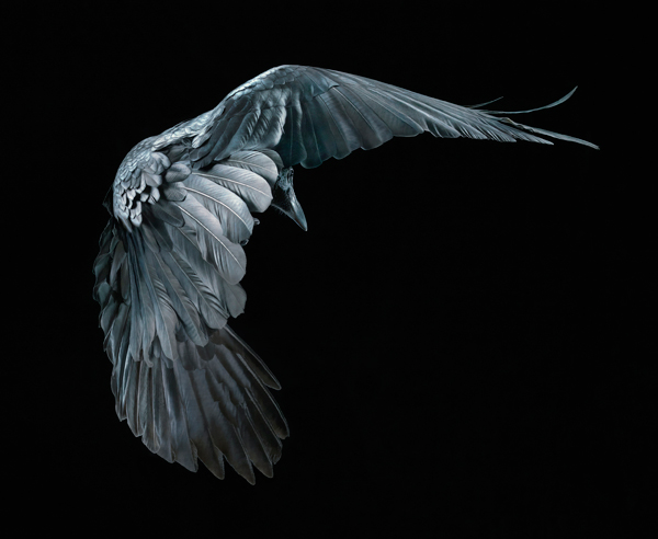 0059 Raven copy More Than Human Book and Exhibition by Renowned Photographer Tim Flach