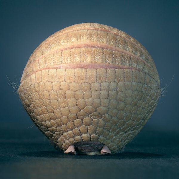 0086 Armadillo ii copy More Than Human Book and Exhibition by Renowned Photographer Tim Flach
