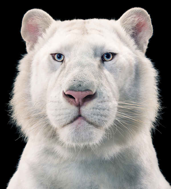 0098 White Tiger copy More Than Human Book and Exhibition by Renowned Photographer Tim Flach