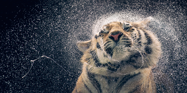 0113 Tiger shaking copy More Than Human Book and Exhibition by Renowned Photographer Tim Flach