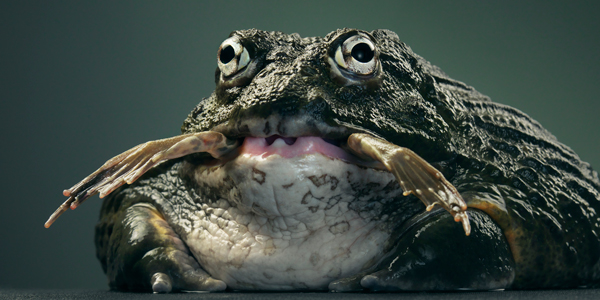 0124 African bull frog copy More Than Human Book and Exhibition by Renowned Photographer Tim Flach