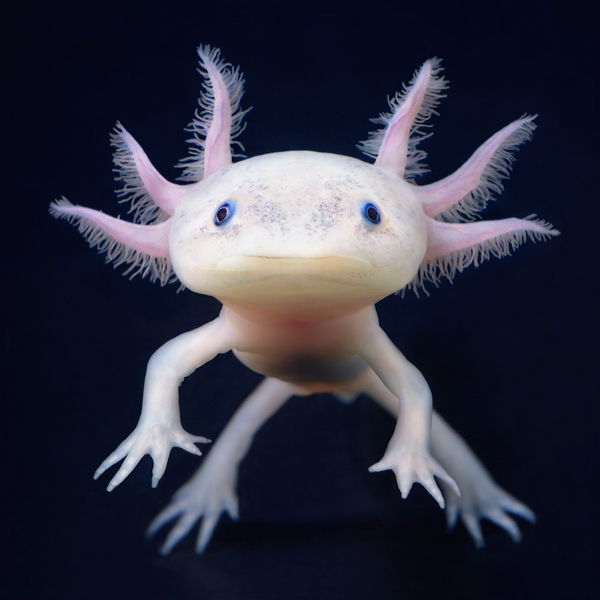 0138 Axolotl More Than Human Book and Exhibition by Renowned Photographer Tim Flach