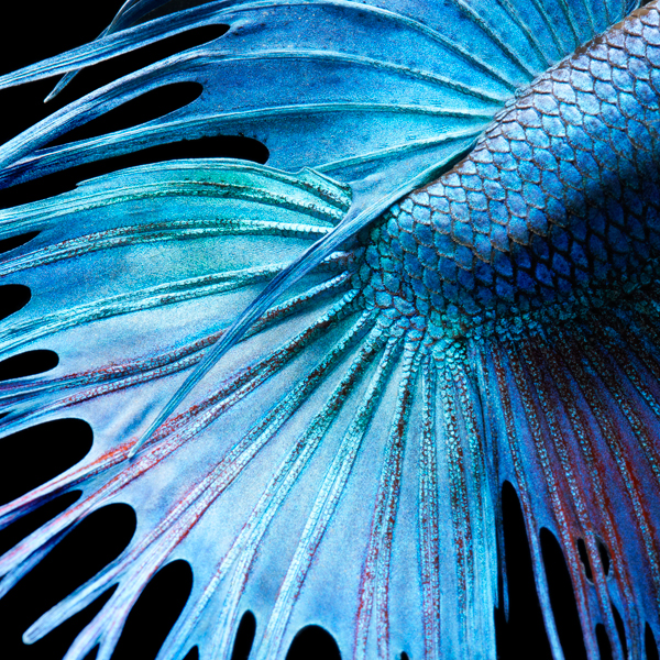 0139 Fighting Fish Abstrac copy More Than Human Book and Exhibition by Renowned Photographer Tim Flach