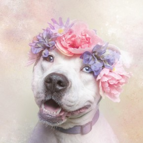 The-Softer-Side-of-Pit-Bulls-1